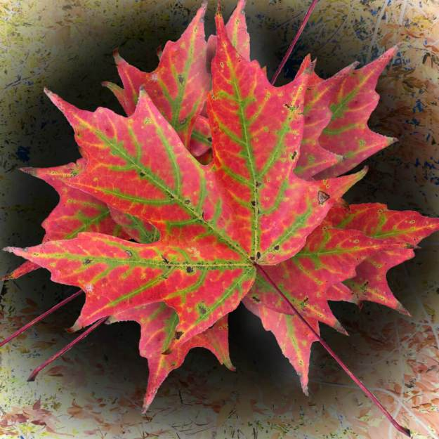 Robin Botie of Ithaca, New York, photoshops joyful color of a fallen leaf in focusing on life and death, the important things.