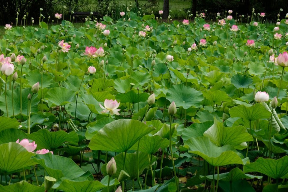 Robin Botie of Ithaca, New York photographs a lotus pond thick with lotuses at all stages of life.