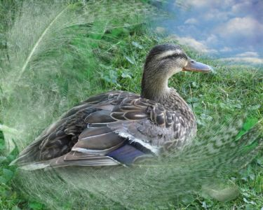 One duck left at Robin Botie's pond in Ithaca, New York