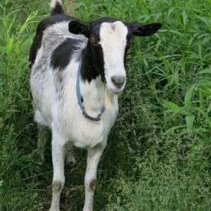 Mother goat in Ithaca, New York by Robin Botie