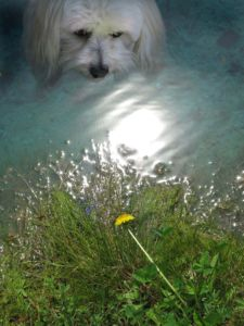 Robin Botie of ithaca, New York Photoshops her Havanese dog gazing at a dandelion by the pond.