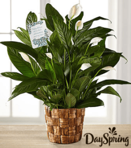 Peace Lily - DaySpring-FTD