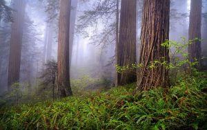 "Foggy Redwoods—the setting for ""The High Roads"" short story"