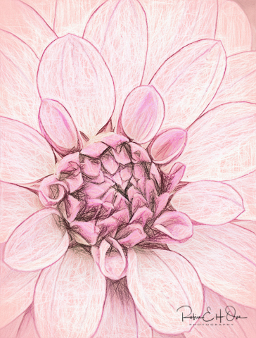 Pink Dahlia © Robin E. H. Ove All Rights Reserved