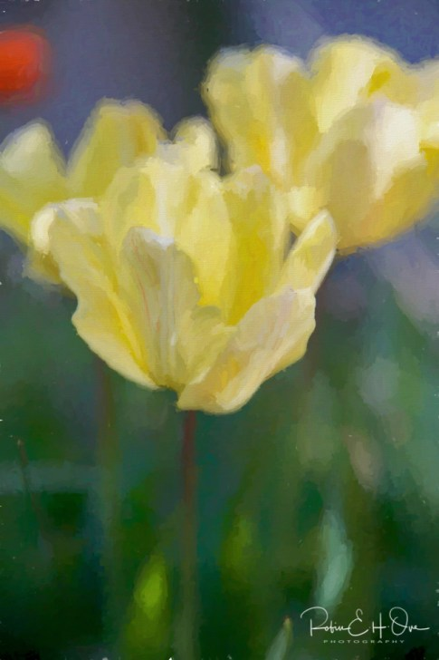 Rain washed Yellow Tulips © Robin E. H. Ove All Rights Reserved