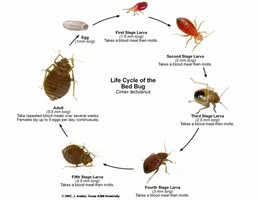 The stages of a bed bug's life