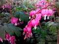 Easy perennial flowering plant.Loves the shade as well as partial shade.