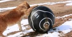 Jätteversion av robotbollen Sphero