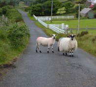 Typical Sheep Confrontation