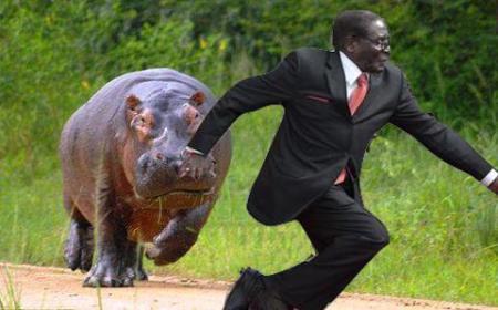 hippo mugabe #MugabeFalls