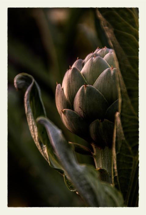 Artichoke at SunsetDSC_6053-2_