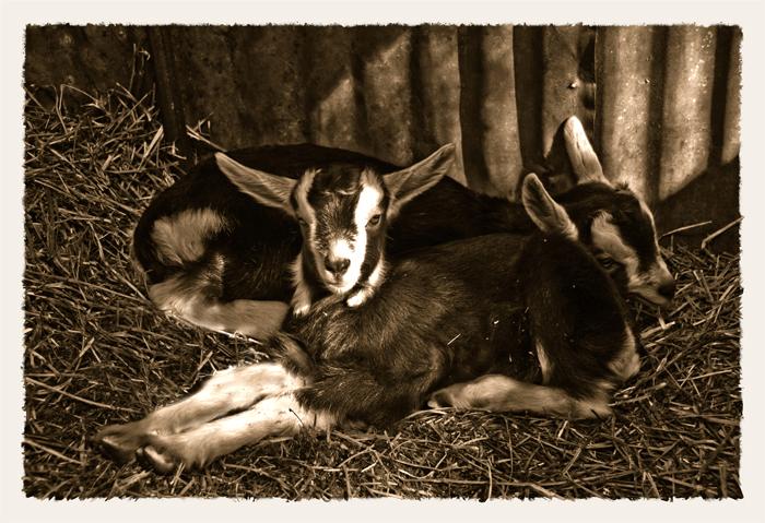 Twin_GoatsDSC_0304___