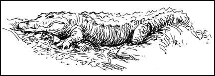 2007-0107-silspr-gator.jpg