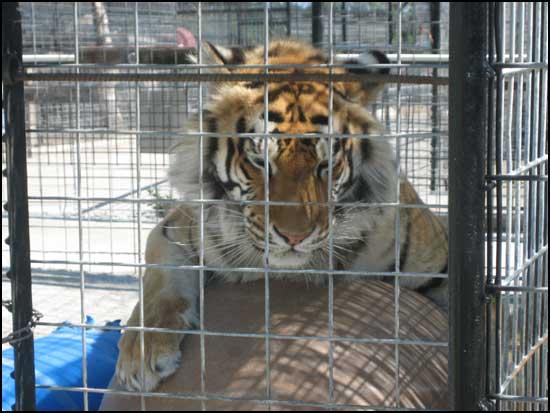 2008-00603-ark-tiger-photo.jpg