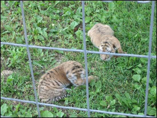 2008-00604-ark-babytigers.jpg