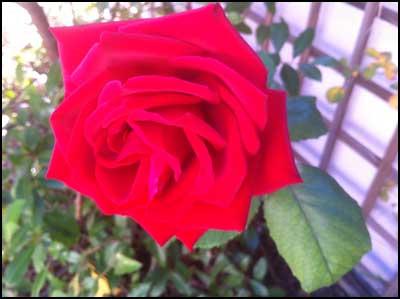 2010-1115-rose
