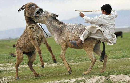 donkey-fights