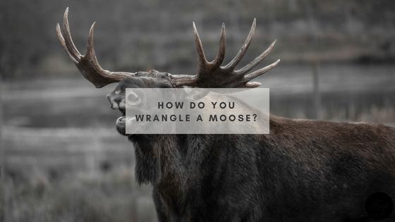 How do you wrangle a moose