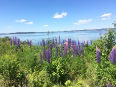 Smell the lupine