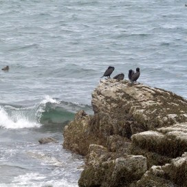 Cormorants resting ( or roosting? ) on a rock.