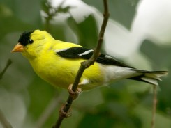 American Goldfinch - male - Pittsford, NY © Richard Ashworth