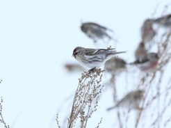 Common Redpoll - Macedon Center, NY © Dominic Sherony