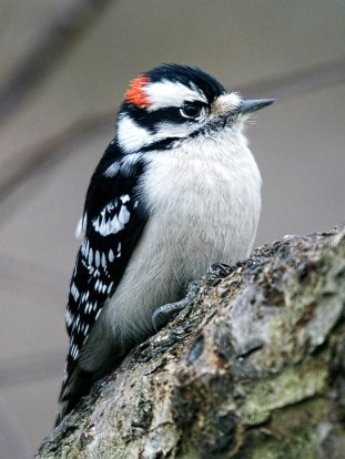 Downy Woodpecker - Male © Richard Ashworth