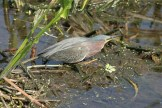 Green Heron - Montezuma National Wildlife Refuge © D. Sherony