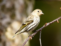Pine Siskin © Richard Ashworth