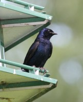 Purple Martin - Montezuma National Wildlife Refuge © D. Sherony