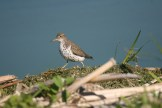 Spotted Sandpiper at Montezuma National Wildlife Refuge © D. Sherony, Montezuma National Refuge
