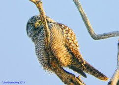 Northern Hawk-Owl - Lyndonville, NY 06-01-19 - Digiscoping Photo © Jay Greenberg