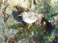Purple Sandpiper, North end of Irondequoit Bay. Tip of West Jetty. 12:26:1 © Robert Buckert2
