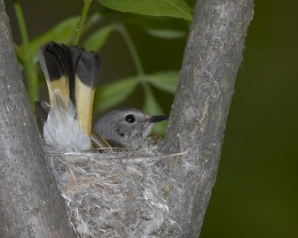 American Redstart on nest © Chuck Schleigh