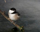 Black-capped Chickadee © Chuck Schleigh