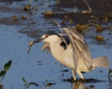 Black-crowned Night-Heron © Chuck Schleigh