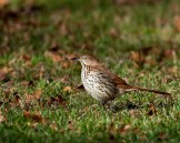 Brown Thrasher © Chuck Schleigh