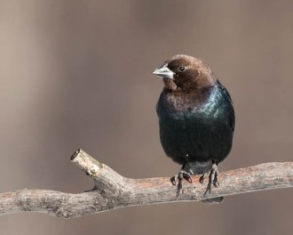 Brown-headed Cowbird © Chuck Schleigh