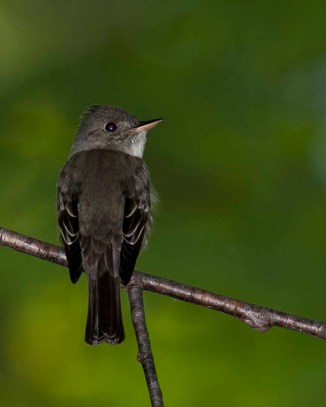 Eastern Wood-Pewee © Chuck Schleigh