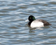 Greater Scaup - Male - © Chuck Schleigh