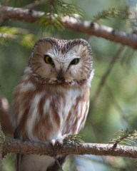 Northern Saw-whet Owl © Chuck Schleigh