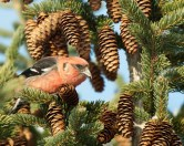 White-winged Crossbill © Chuck Schleigh