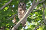 Barred Owl © Dominic Sherony