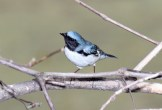 Black-throated Blue Warbler © Dominic Sherony