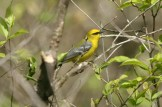 Blue-winged Warbler © Dominic Sherony