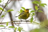 Cape May Warbler © Dominic Sherony