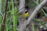 Common Yellowthroat © Dominic Sherony