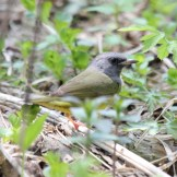 Mourning Warbler © Dominic Sherony