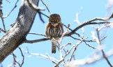 Northern Pygmy-Owl - Arizona © Dominic Sherony