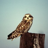 Short-eared Owl - Nations Rd © Dominic Sherony